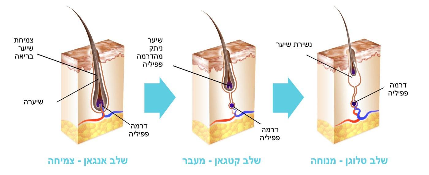 שלבי צמיחה נורמליים של שיער